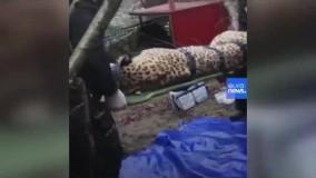 پایِ پلنگ های ایرانی به حیات وحش روسیه باز شد