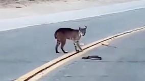 شکار مار زنگی توسط گربه دم کوتاه
