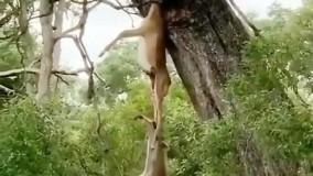آویزان شدن کفتار از شکار پلنگ