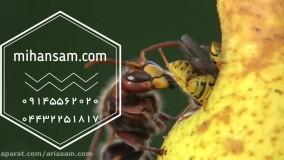 خطرناک ترین زنبور جهان را  می شناسید؟ |  دفع انواع زنبور با سم خارجی