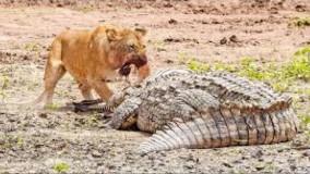 حیات وحش ، حملات حیوانات وحشی ؛  شیرها قدرتمند ترین شکارچیان
