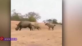 حمله کفتارهای گرسنه به یک کرگدن بزرگ