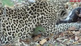 حیات وحش ، حمله مار پیتون غول پیکر به شیر