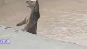 گیر افتادن خرس مادر و بچههایش در بیستون کرمانشاه
