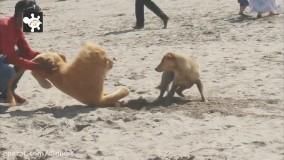 کلیپ خنده دار از ترساندن سگ ها با شیر مصنوعی