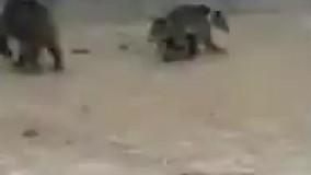 نجات خرس مادر و دو تولهاش از یک استخر خالی 2
