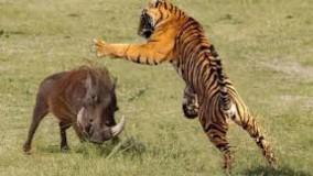 حمله تماشایی ببر برای شکار گراز ؛ جنگ واقعی حیوانات