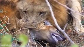 حیات وحش ، زندگی سخت درنده ها ؛ شکار یوزپلنگ توسط کروکودیل