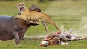 حیات وحش ، دردناک ترین صحنه ها از شکست خوردن شیرها در شکار