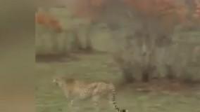 فرار هوشمندانه یک آهو از چنگال کفتار و یوزپلنگ