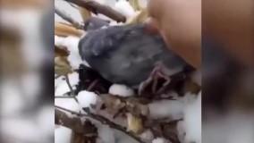 ویدئوی پر بازدید از مهر مادری یک کبوتر در برف!