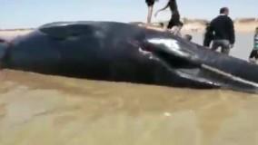 پیدا شدن جسد یه نهنگ ۱۸ متری در ساحل روستایی در بوشهر