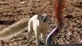 مبارزه ی مار با روباه