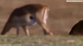 حمله حیوانات: مبارزه حیوانات وحشی - حمله مار به پرنده وحشی