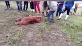 کشتن خرس قهوه ای در ارومیه