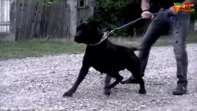 خطرناک ترین سگ ها که جرات نزدیک شدن بهشونو ندارید