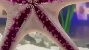 راه رفتن ستاره دریایی