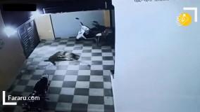حمله پلنگ به سگ نگهبان در حیاط خانه!