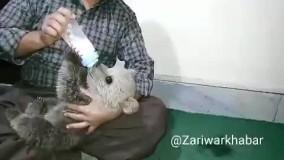 ویدئویی جدید از توله خرس نجات یافته در مریوان