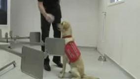 تربیت سگ برای تشخیص مبتلایان ویروس کرونا
