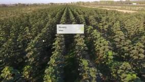 مزرعه پالونیا چگونه است؟ شروع زراعت چوب پالونیا