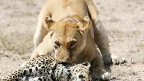 حیات وحش، حمله شیرهای گرسنه به پلنگ