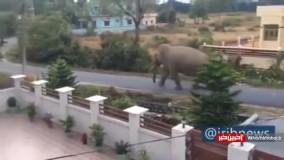ورود فیل به شهر در دوران قرنطینه در هند