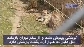 پشت پرده جنجال بزرگ بر سر سه قلاده یوز ایرانی!
