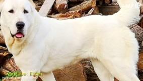 در مورد سگ قدرتمند افغان چه میدانید؟