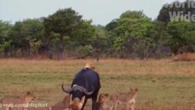 حیات وحش، نبرد شیرها با حیوانات غول پیکر برای شکار