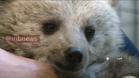 نجات دو توله خرس سرگردان در فارس
