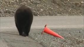 شما که ورود ممنوع میری، از این خرس یاد بگیر!