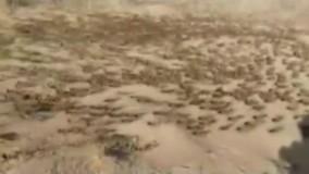 حمله وحشتناک ملخ ها به مزارع پاکستان