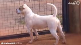 10 نژاد سگ بولداگ