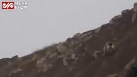 تصاویری از گله كَل و بز وحشی ویک خرس و توله هایش در ارتفاعات منطقه حفاظت شد