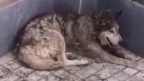 گرگی که به انسان پناه برد!