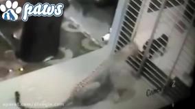 لحظاتی ترسناک از حمله پلنگ به سگ و دفاع سگ ها از خود