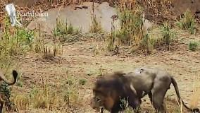 نبرد نهایی...   آخرین نبرد شیر پیر مقابل شیرهای جوان