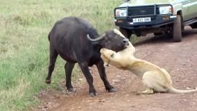 دنیای حیوانات : شکار بوفالو توسط شیر