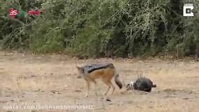 نادرترین صحنه شکار حیوانات