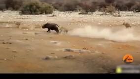 حمله شیرها به کرگدنها و شکست مفتضحانه شیرها در حیات وحش افریقا