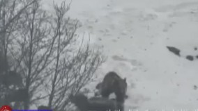 صحنهای زیبا از بازی دو خرس در منطقه البرز