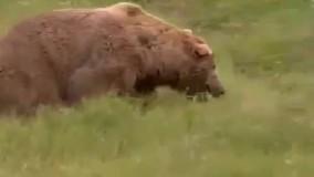 مستند خرس گریزلی