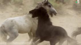 مستند اسب   های وحشی و پریدن از روی هم شگفت انگیز!