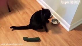 ترس خنده دار گربه ها از خیار