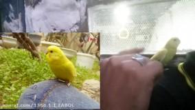 آموزش دستی کردن مرغ عشق با بستن بال
