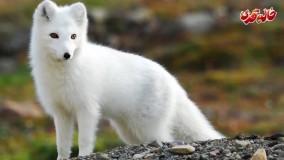 شگفت انگیزترین حیوانات - روباه (دوبله فارسی)