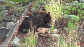 خرس بچه گوزن را زنده می خورد : حیات وحش