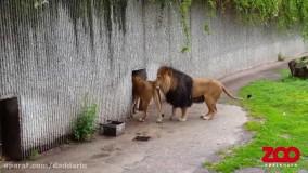 اولین ملاقات شیر نر با توله هایش در باغ وحش
