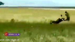 حیات وحش، لگد خوردن پلنگ از گورخر